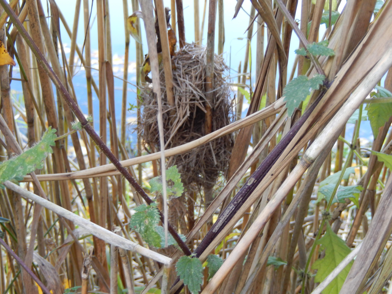 Op zoek naar nesten van dwergmuizen! de zoogdiervereniging