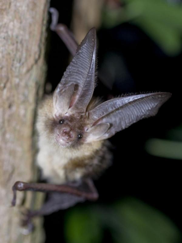 Veel meldingen van vleermuizen in slaapkamers | De Zoogdiervereniging
