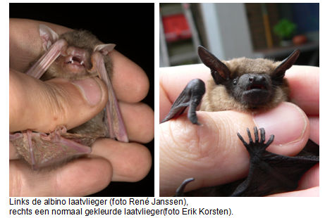 To the left, the albino serotine bat, photo Rene Janssen, to the right a normally coloured serotine bat, photo Erik Korsten
