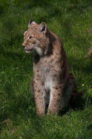 Vijanden van de lynx