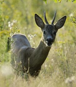31b1029e362 Het Ree (Capreolus capreolus) | De Zoogdiervereniging