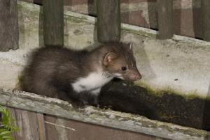 uitwerpselen zwarte rat