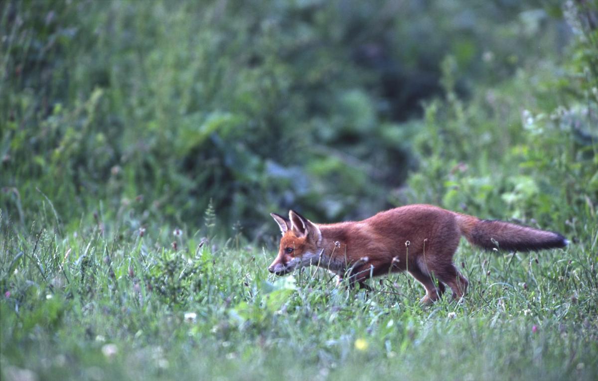 De vos vulpes vulpes de zoogdiervereniging - Volwassen kamer kleuren ...