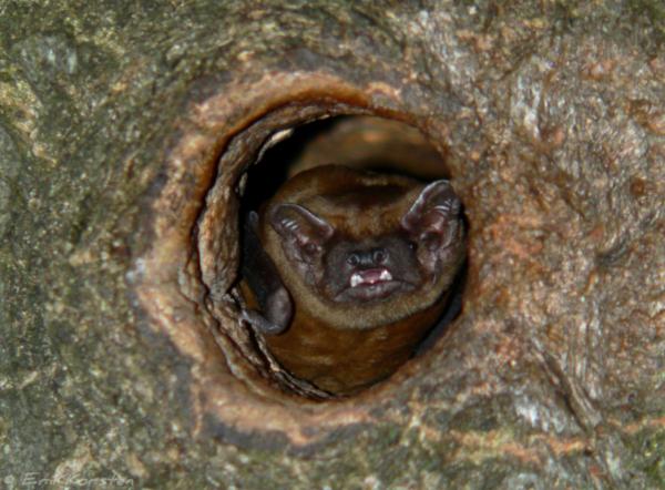 Rosse vleermuis lokt vrouwtjes naar zijn paarverblijfplaats.