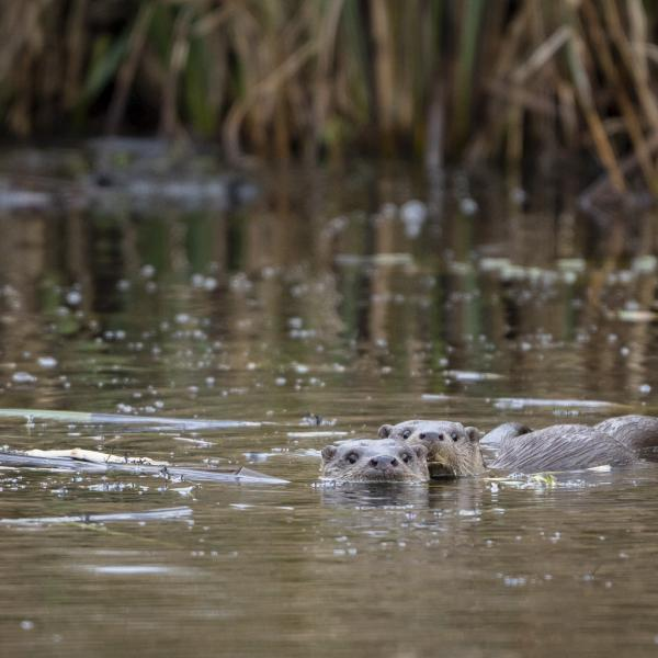 Otters in De Wieden