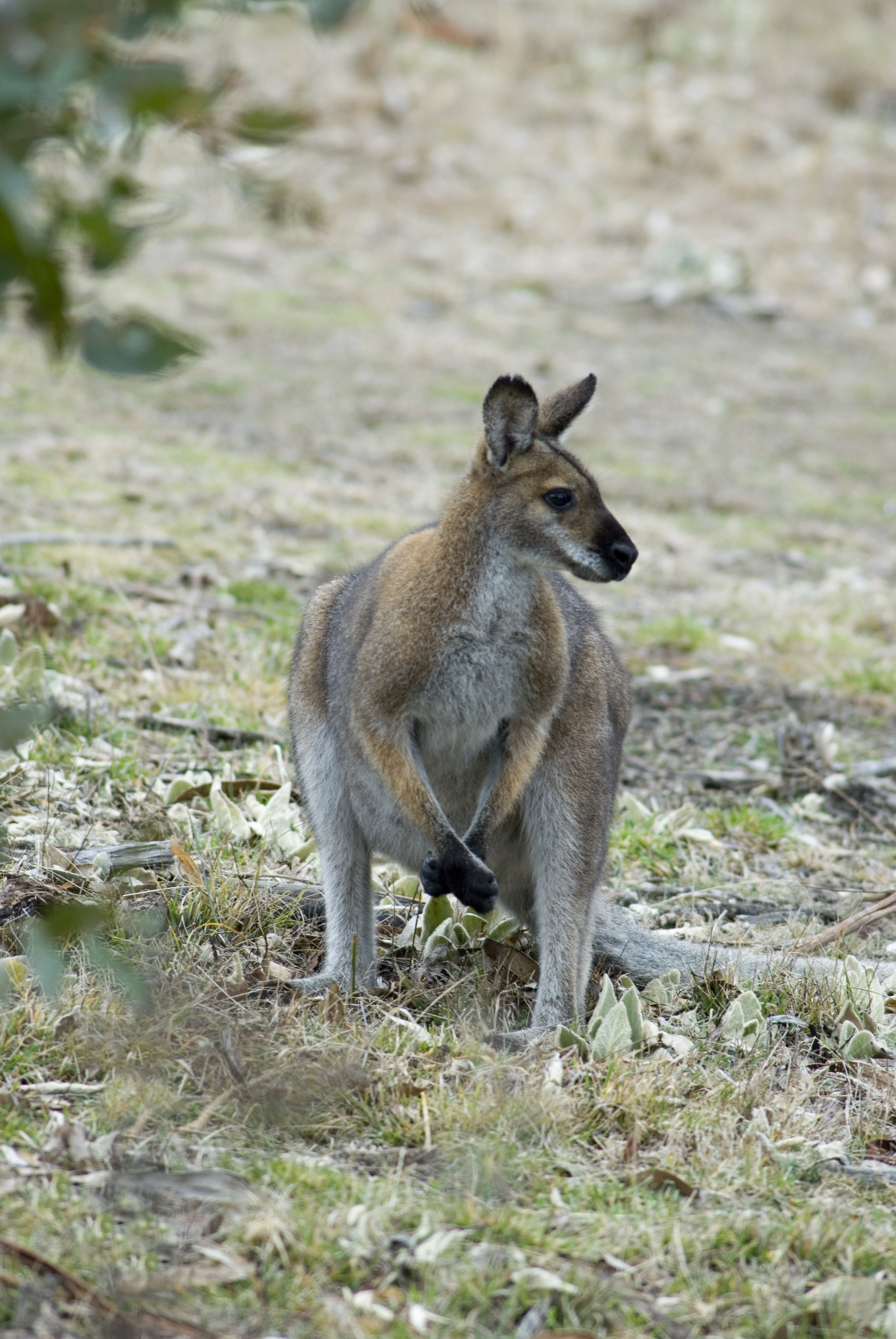 Wallaby (© Dick Klees)